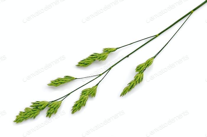 Panicle weed