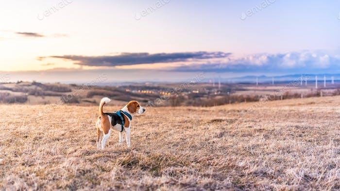 Beagle Hund auf den Feldern während des Sonnenuntergangs. Bunte Landschaft