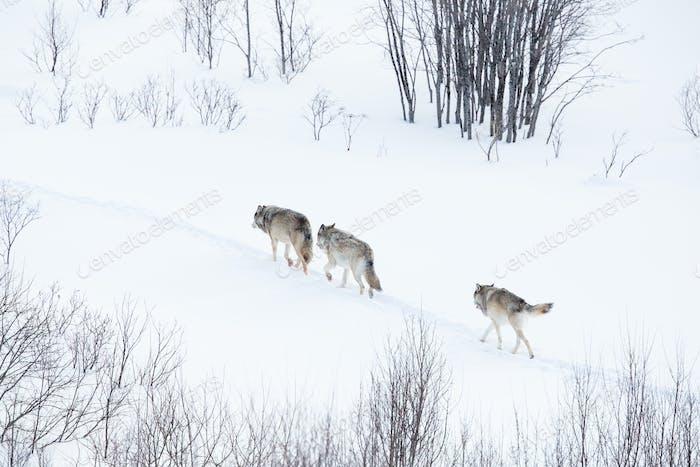 Wolf pack walking in winter landscape