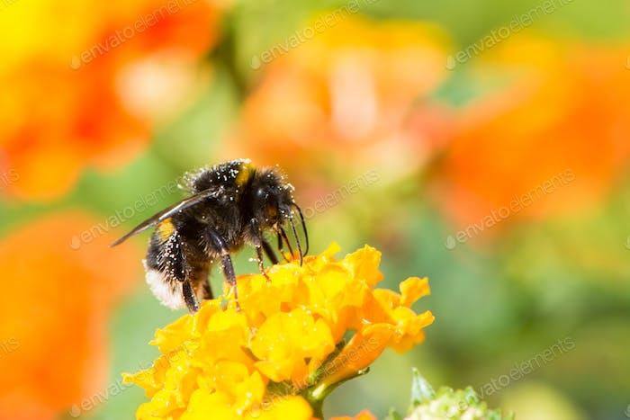 Hummel sammeln Nektar auf einer Lantana Camara Blume