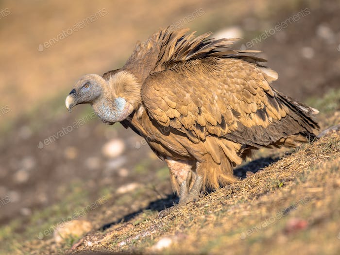 Griffon vulture perched on ground