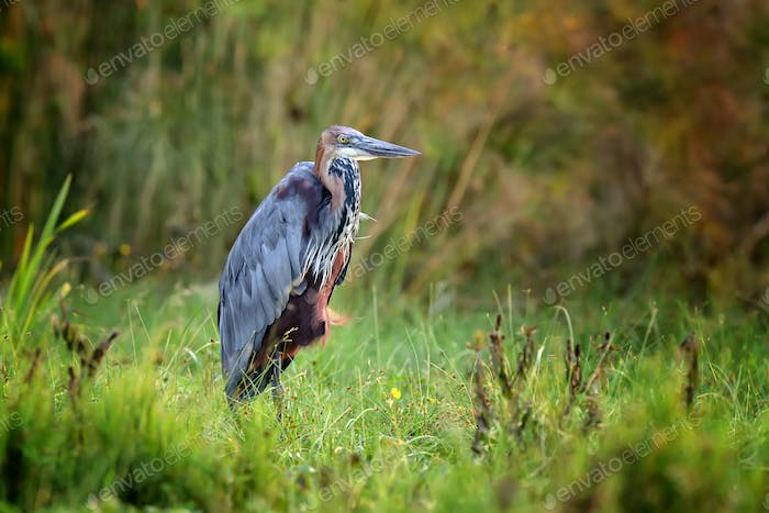 Heron in a grass on river coast