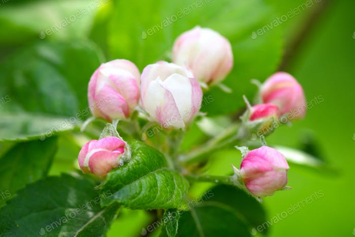 Apple blossom buds on the natural background