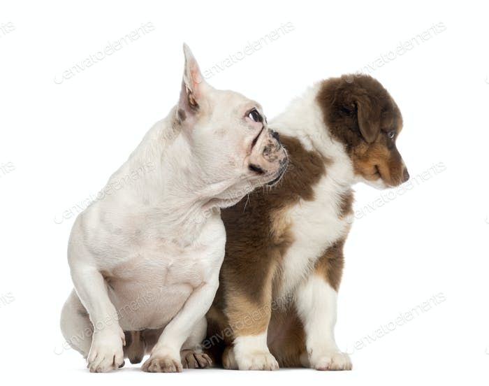 Australian shepherd puppy and french bulldog isolated on white