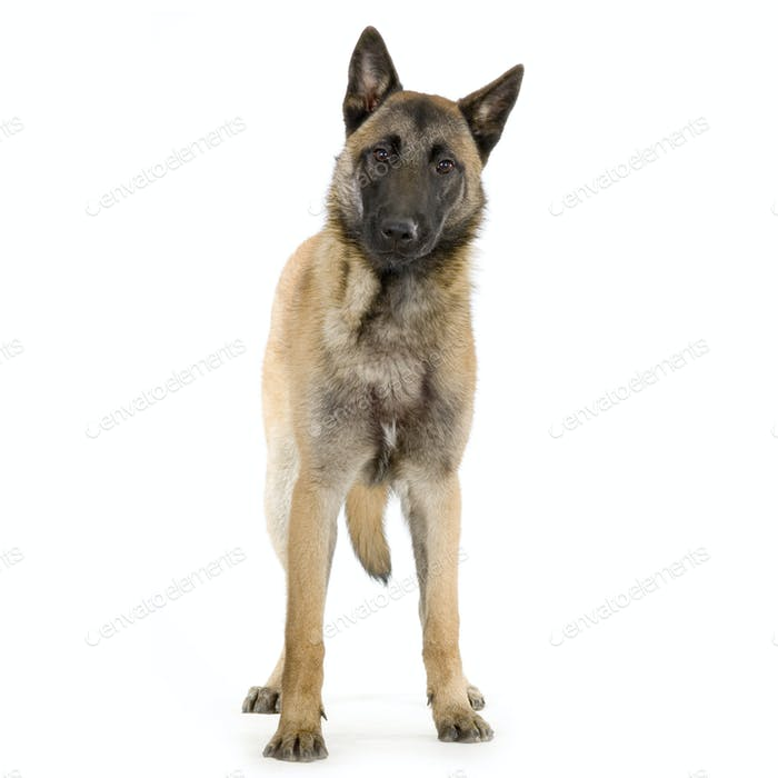german shepherd / alsatian, police dog