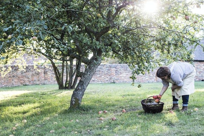 Frau trägt Schürze mit braunem Weidenkorb, nimmt Windfall Äpfel aus dem Boden.