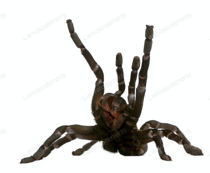 Tarantula spider attacking, Haplopelma Minax, in front of white background