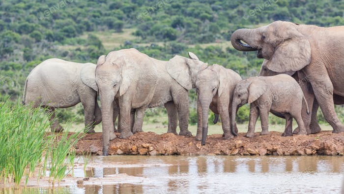 Elephants Drinking in Addo Elephant National Park