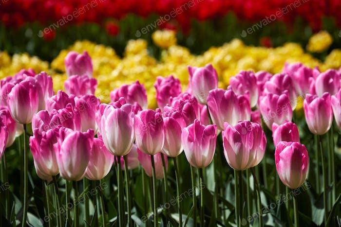 Blühende Tulpen Blumenbeet in Keukenhof Blumengarten, Niederlande