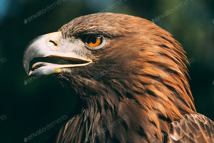 Eagle Haliaeetus Albicilla On Green Grass Background. Wild Bird.