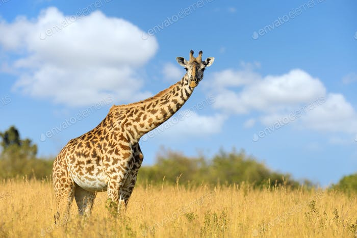 Giraffe in National park of Kenya