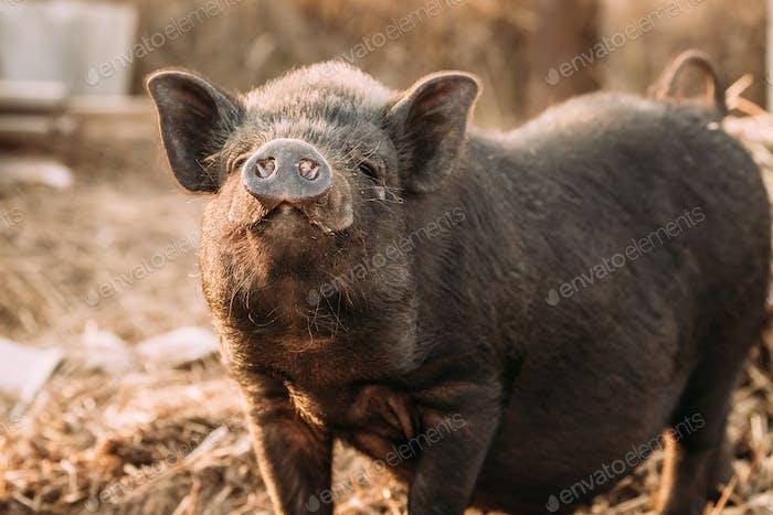 Household A Small Black Pig Sniffs Air In Farm. Pig Farming Is R