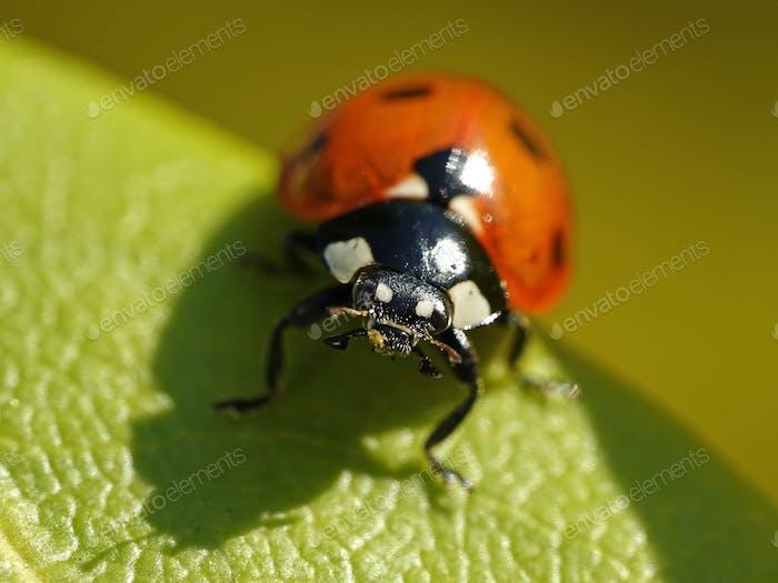 Sieben-Punkt-Marienkäfer (Coccinella septempunctata)