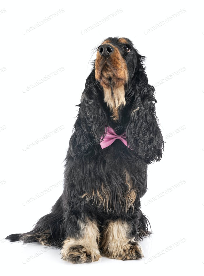 cocker spaniel in studio