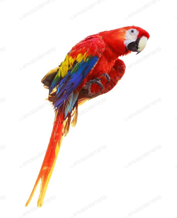 Colorful red parrot macaw isolated on white