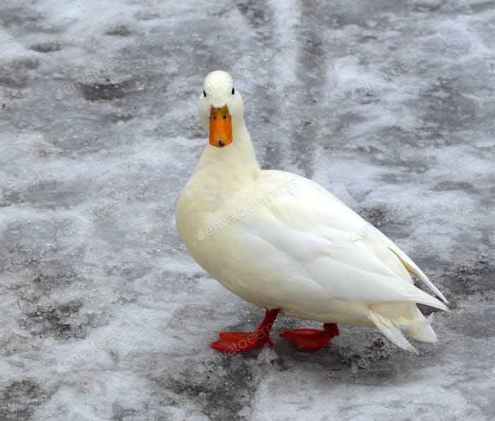 Albino mallard duck