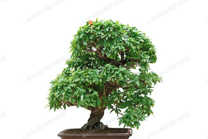 Punica Granatum bonsai tree