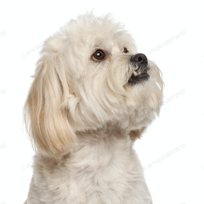 Close-up of Mixed-breed dog, 5 years old, in front of white background