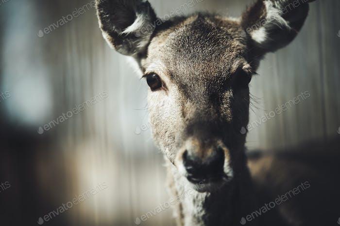 Beautiful wildlife deer looking at camera