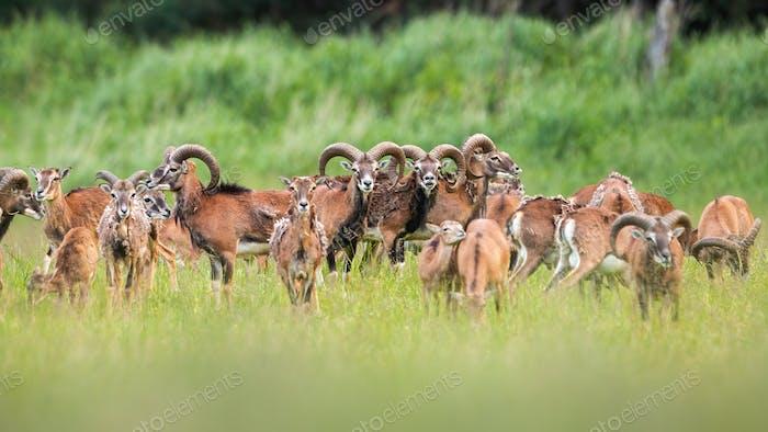 Gruppe von Mufflons, die im Sommer auf Wiese stehen