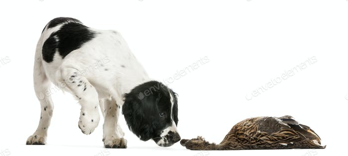 English Springer Spaniel sniffing dead duck against white background
