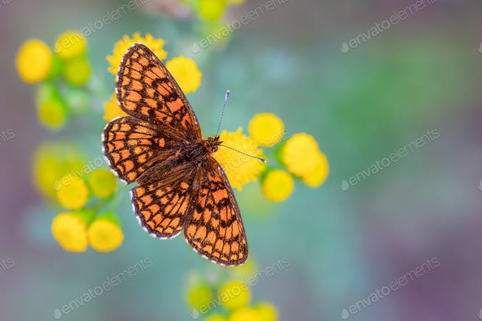 Heath Fritillary Butterfly on Yellow Flowers with Green and Purp