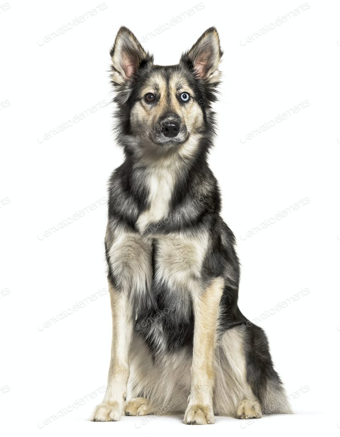 Siberian Husky sitting in front of white background