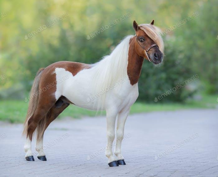 Full body portrait of skewbald Miniature Horse.