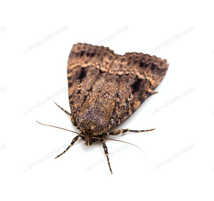 Moth butterfly.