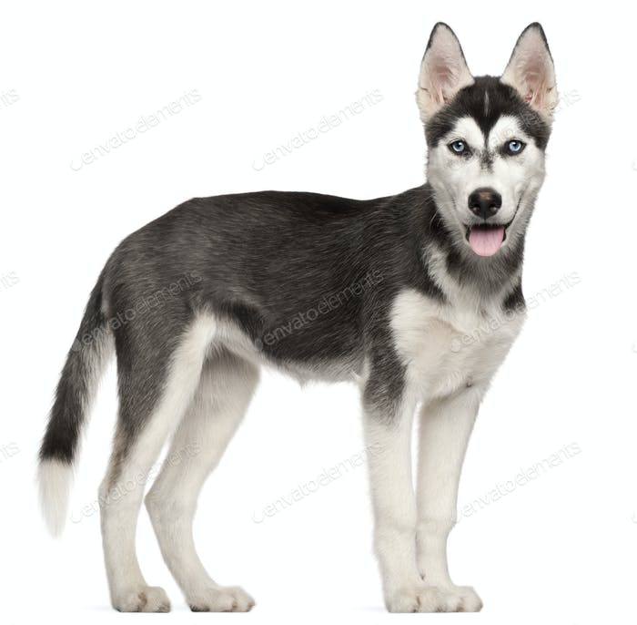 Siberian Husky puppy, 4 months old, standing in front of white background