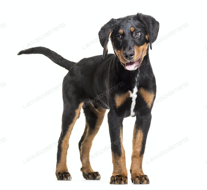 Mixed-breed dog standing and panting, cut out