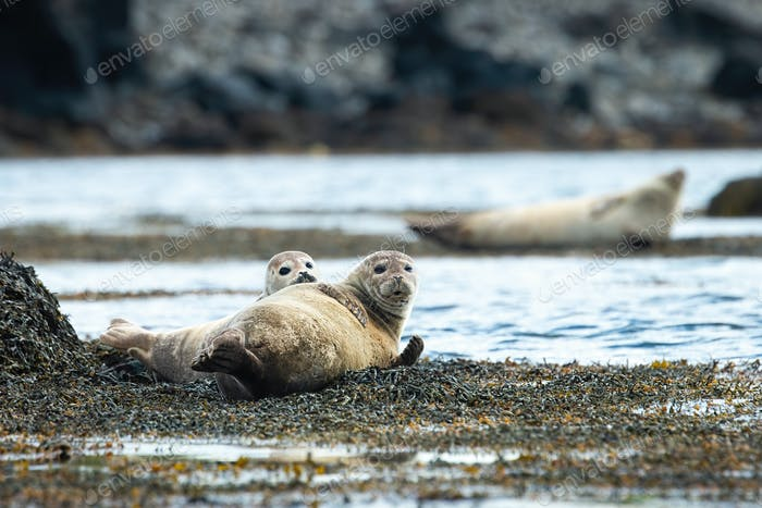Two harbor seals lying on a seashore and looking into the camera