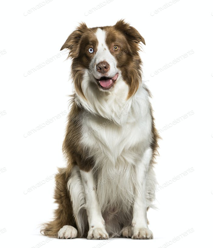 Sitting Border Collie panting, isolated