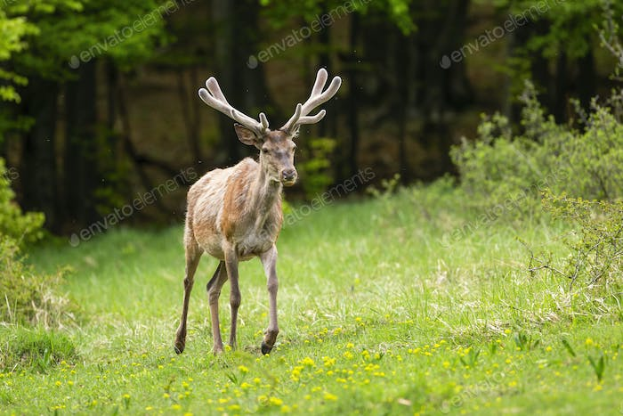 Vital red deer stag with new antlers covered in velvet walking forward on glade
