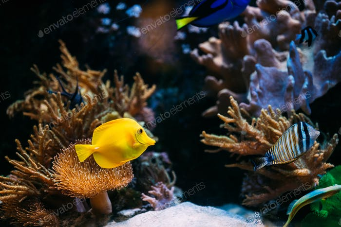 Pomacanthus navarchus blue angel sea fish in aquarium