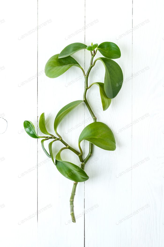 Branch of Peperomia on a table of white painted boards.