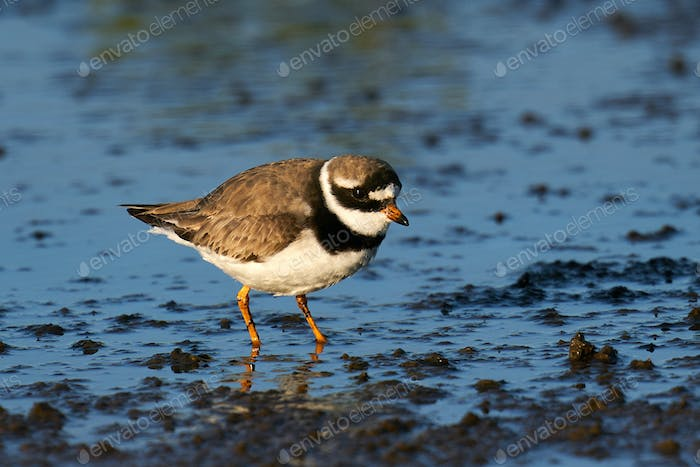 Common ringed plover (Charadrius hiaticula) in its natural enviroment