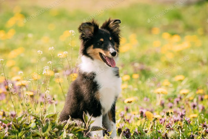Young Happy Smiling Shetland Sheepdog Sheltie Puppy Playing Outd