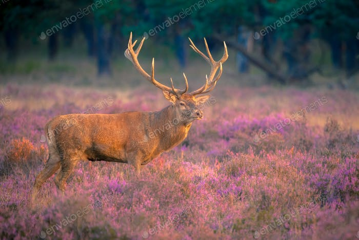 Male red deer with huge antlers