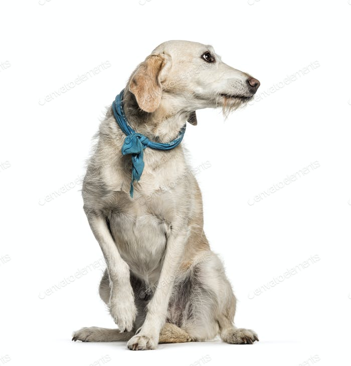 Mixed-breed dog, 10 years old, sitting in front of white background