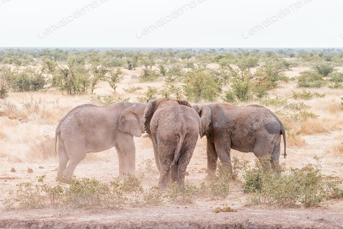 Two African elephants in a stand-off with another watching