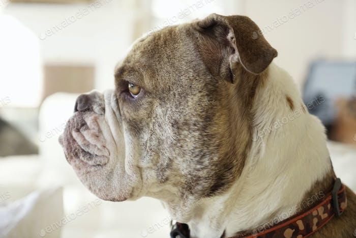 Old English bulldog, a pedigree dog looking alert, side view