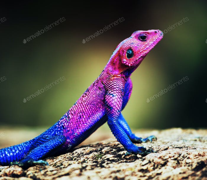 The Mwanza Flat-headed Agama. Serengeti, Tanzania