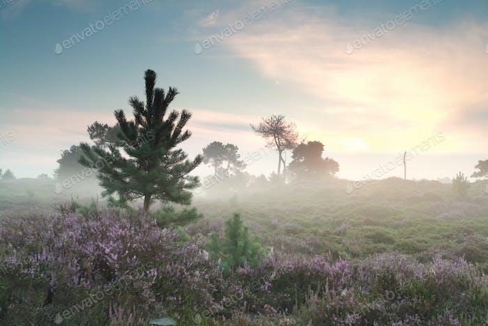 misty sunrise and flowering heather
