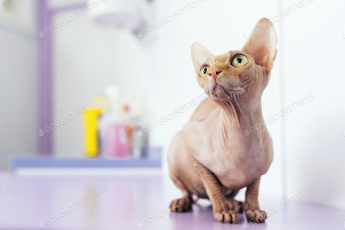 Portrait of beautiful sphynx cat.