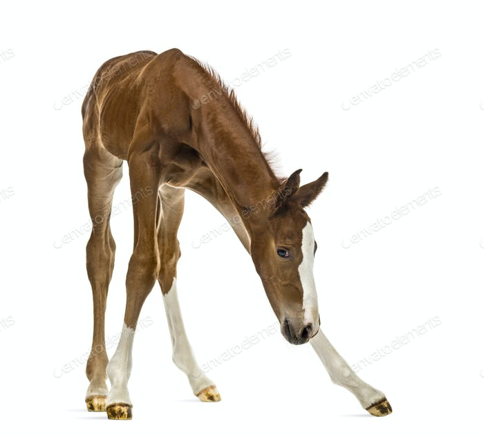 Foal balancing and looking down isolated on white