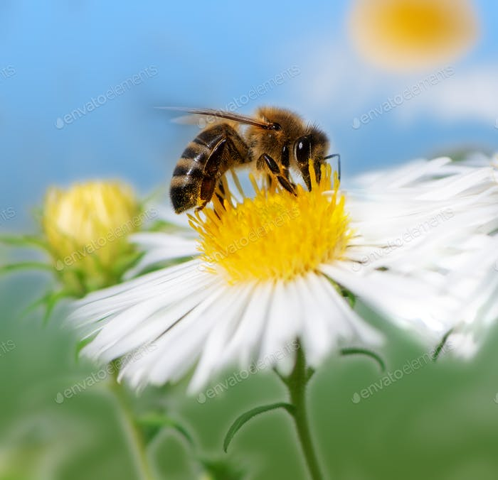 Biene sammelt Nektar an einer weißen Asterblüte