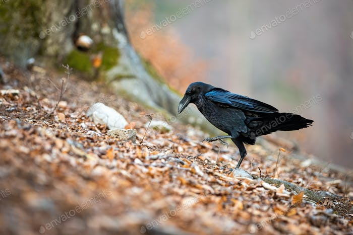 Black common raven walking on leafs in autumn nature