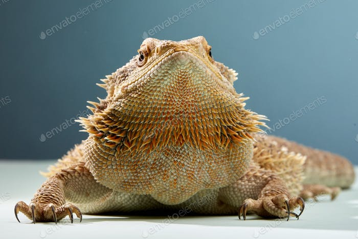 Studio portrait of Bearded Dragon (Pogona)