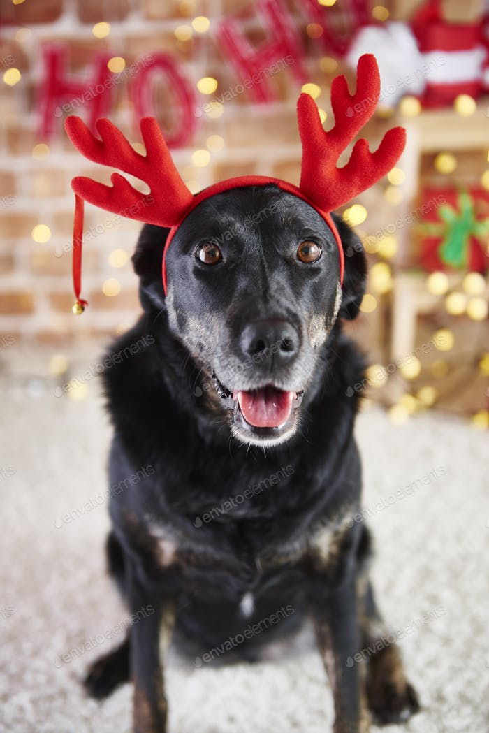 Portrait of dog with reindeer's antlers